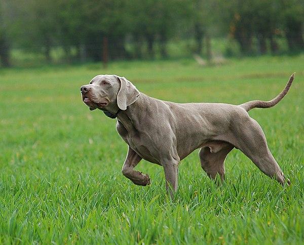 Race de chien de chasse : Braque de Weimar
