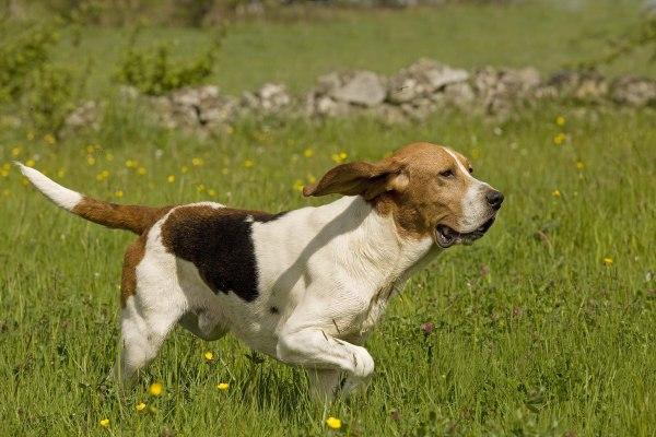 Race de chien chasse : Le  chien d'Artois