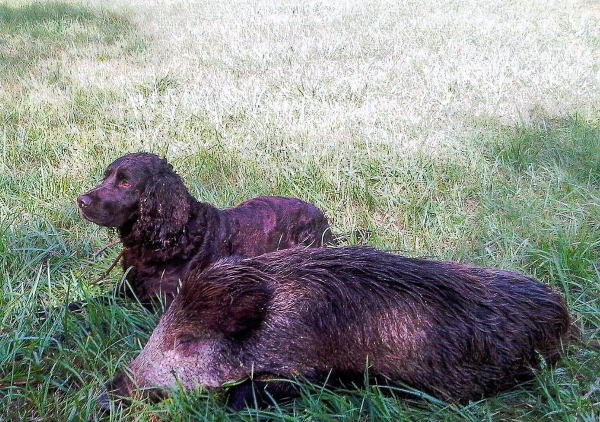 Wachtelhund ou chien d'Oysel allemand