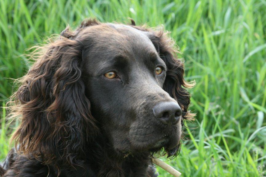 chien de chasse Le Wachtelhund
