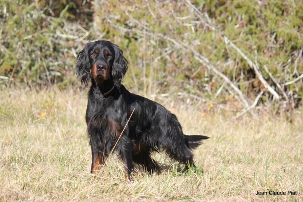 Le chien de chasse Setter Gordon