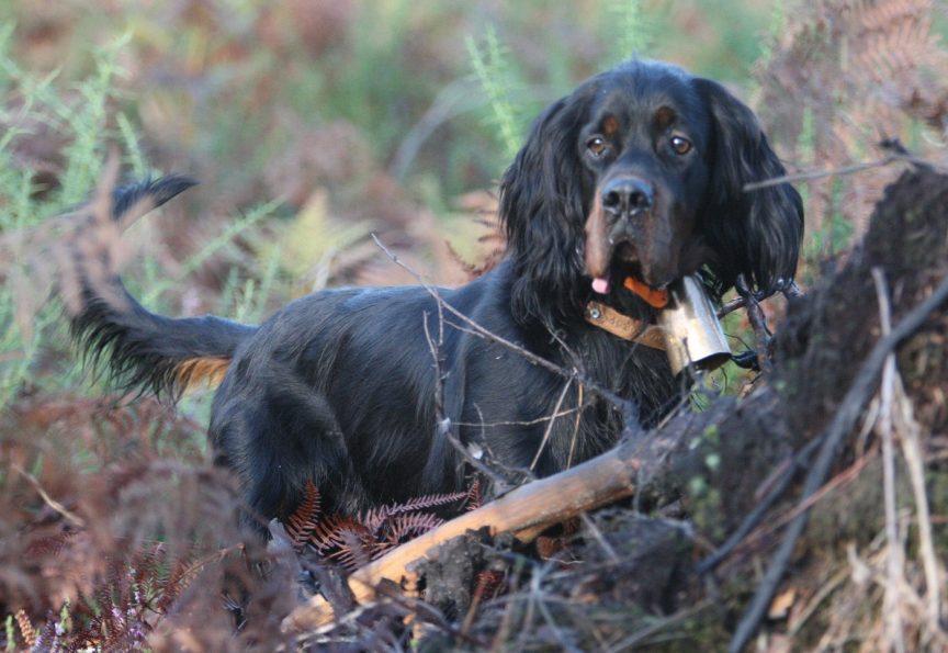 La race de chien de chasse : Le Setter Gordon