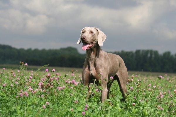 Braque de Weimar un chien made in allemagne
