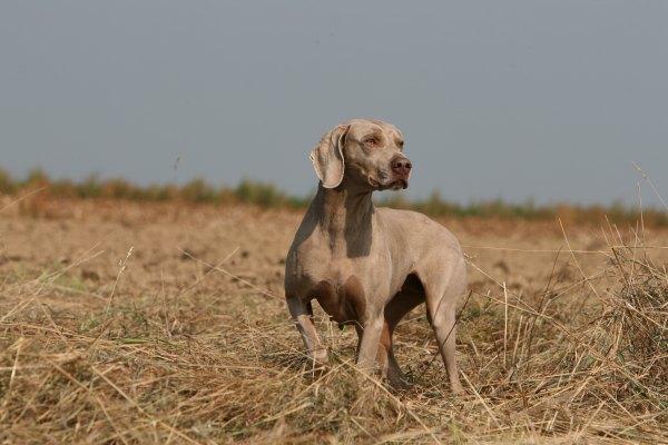 Le braque de Weimar un chien fait pour la chasse