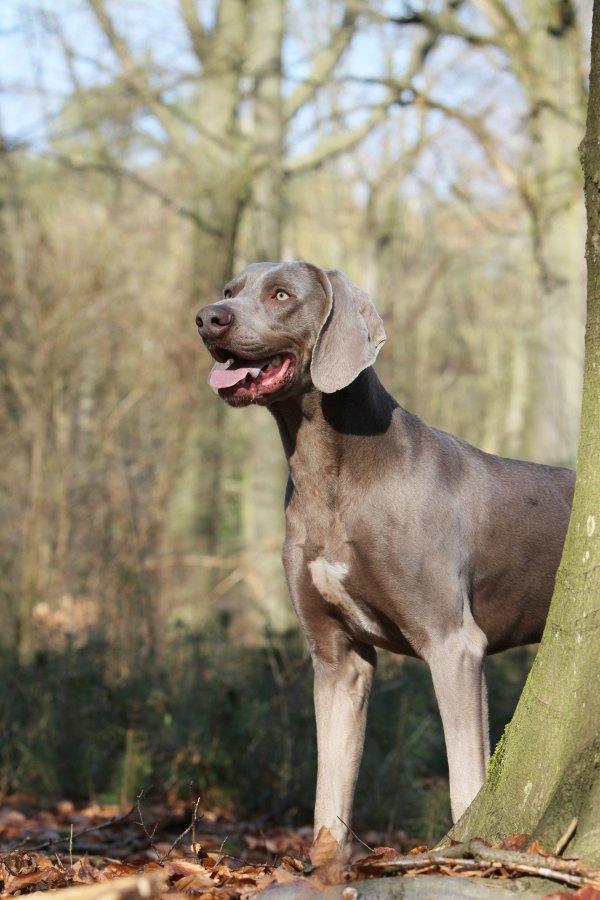 Le braque de Weimar un chien puissant - V Grossemy