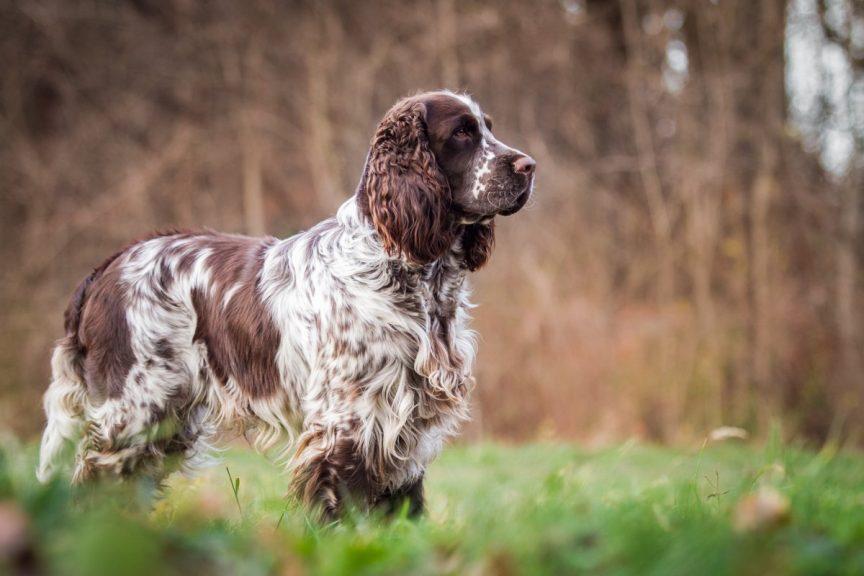 La dysplasie de la hanche du chien de chasse