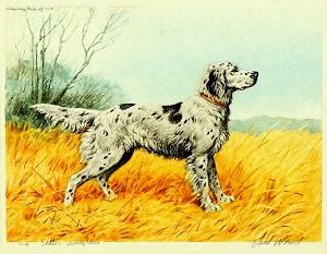 Setter Anglais (illustration de Wood Paul en 1944)