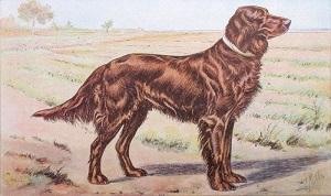 Setter irlandais. (illustration de P. Malher).