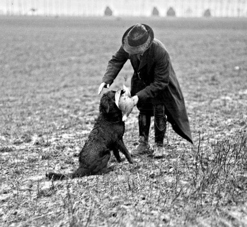 3. Dare la chienne Retriever championne au concours de 1912 rapportant un faisan.