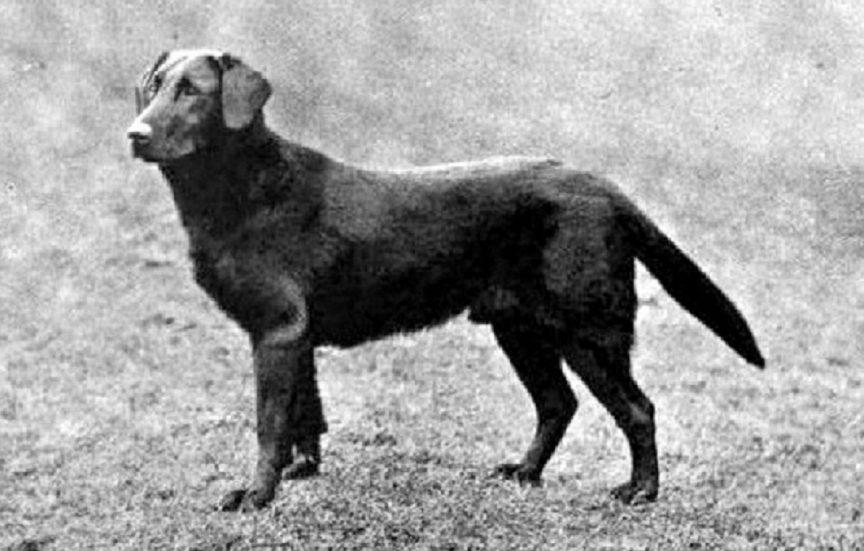 7. Retriever Labrador noir