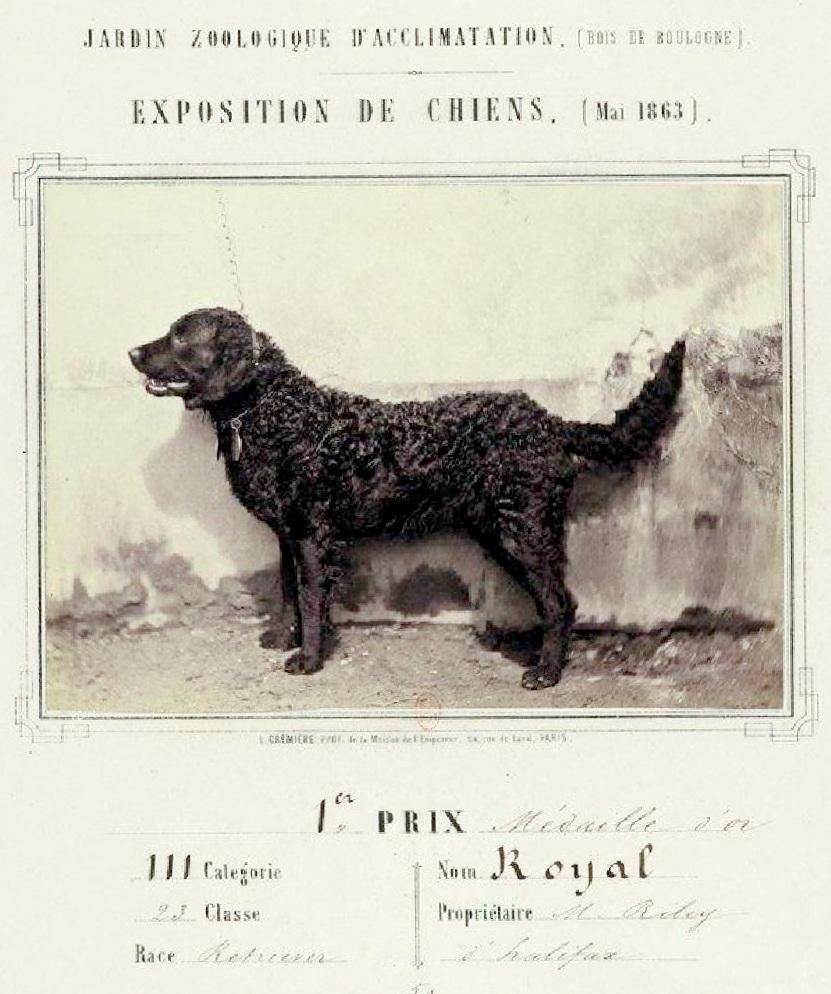 8. Retriever Curly nomme Royal Champion de l'exposition de Mai 1863 au jardin zoologique d'acclimatation