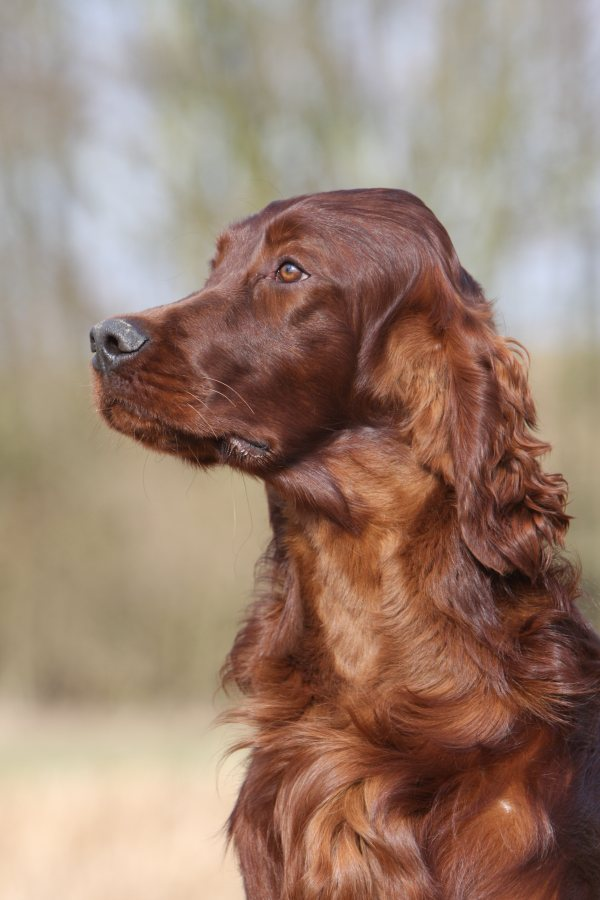 Setter Irlandais photo Grossemy