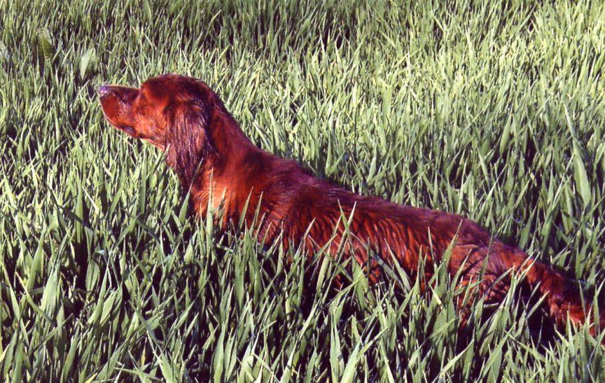 la race de chien de chasse le setter irlandais